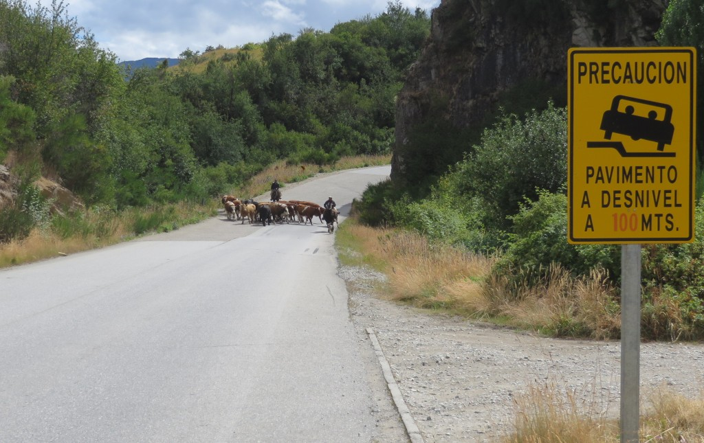 Cows in Road Patagonia