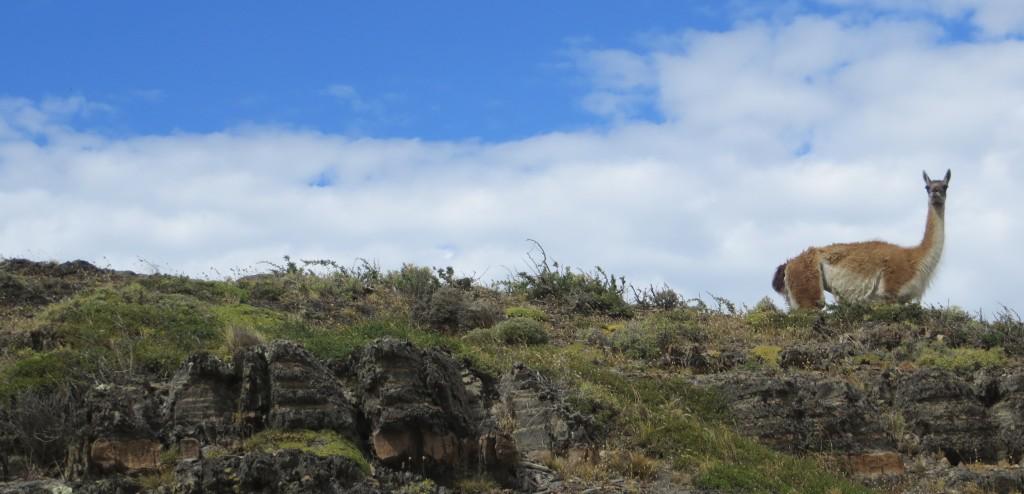 Guanaca Patagonia